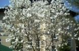 biala-magnolia-w-szwajcarce